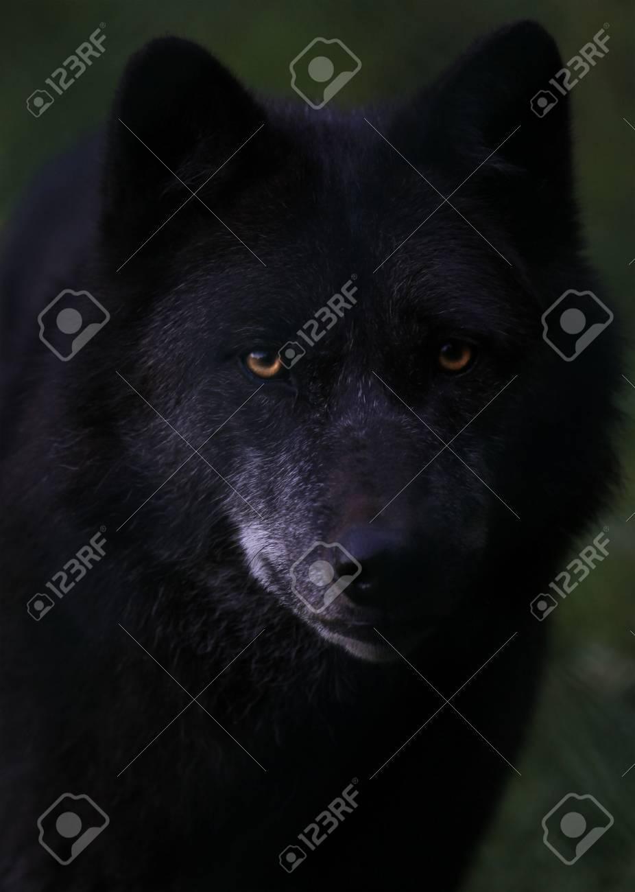 wolf - 5616834