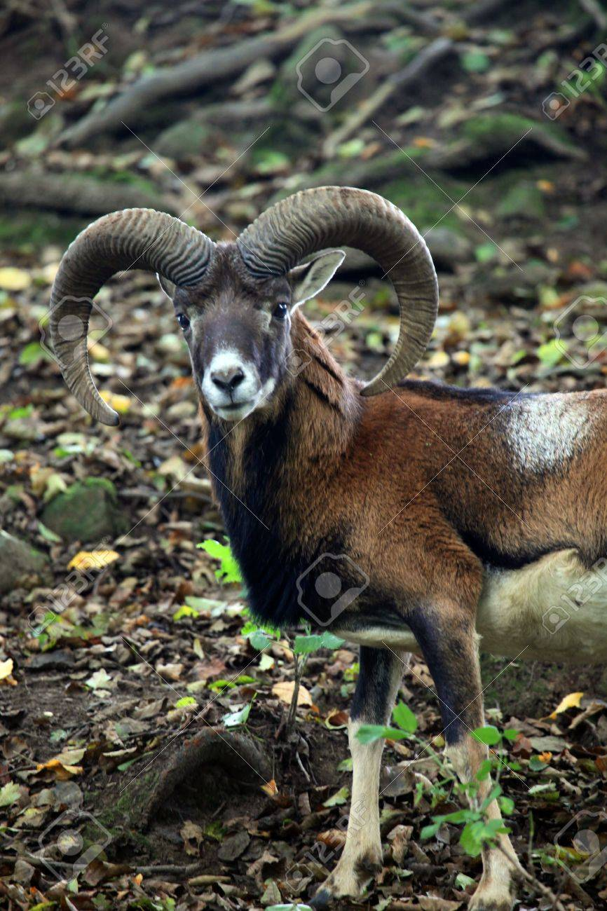 mouflon - 5651273