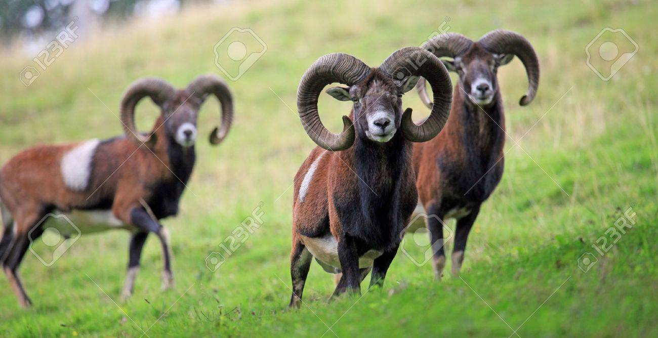 mouflon - 5651276