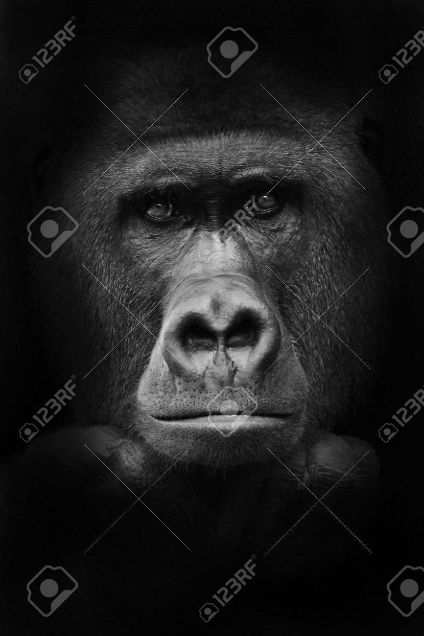 gorilla - 5988485