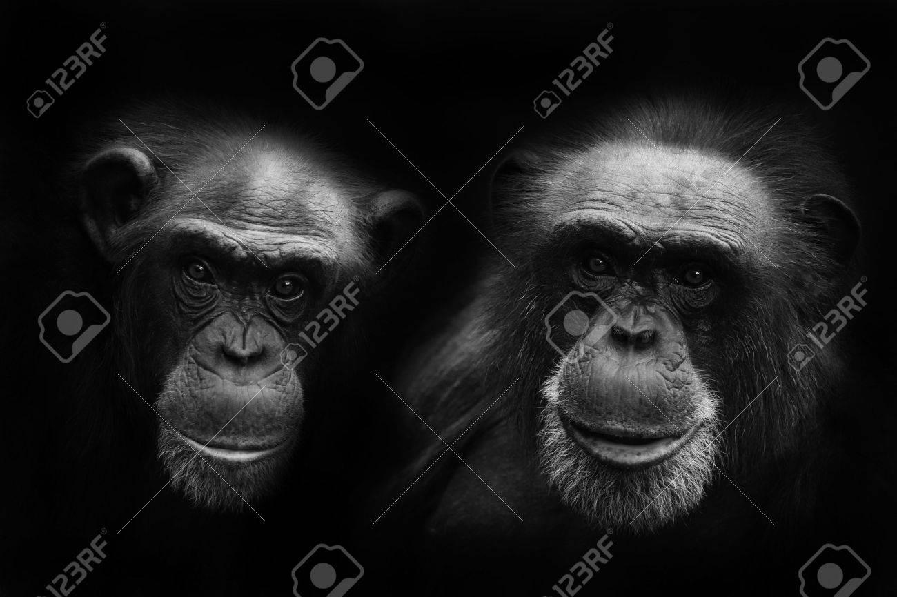 chimps - 5988497