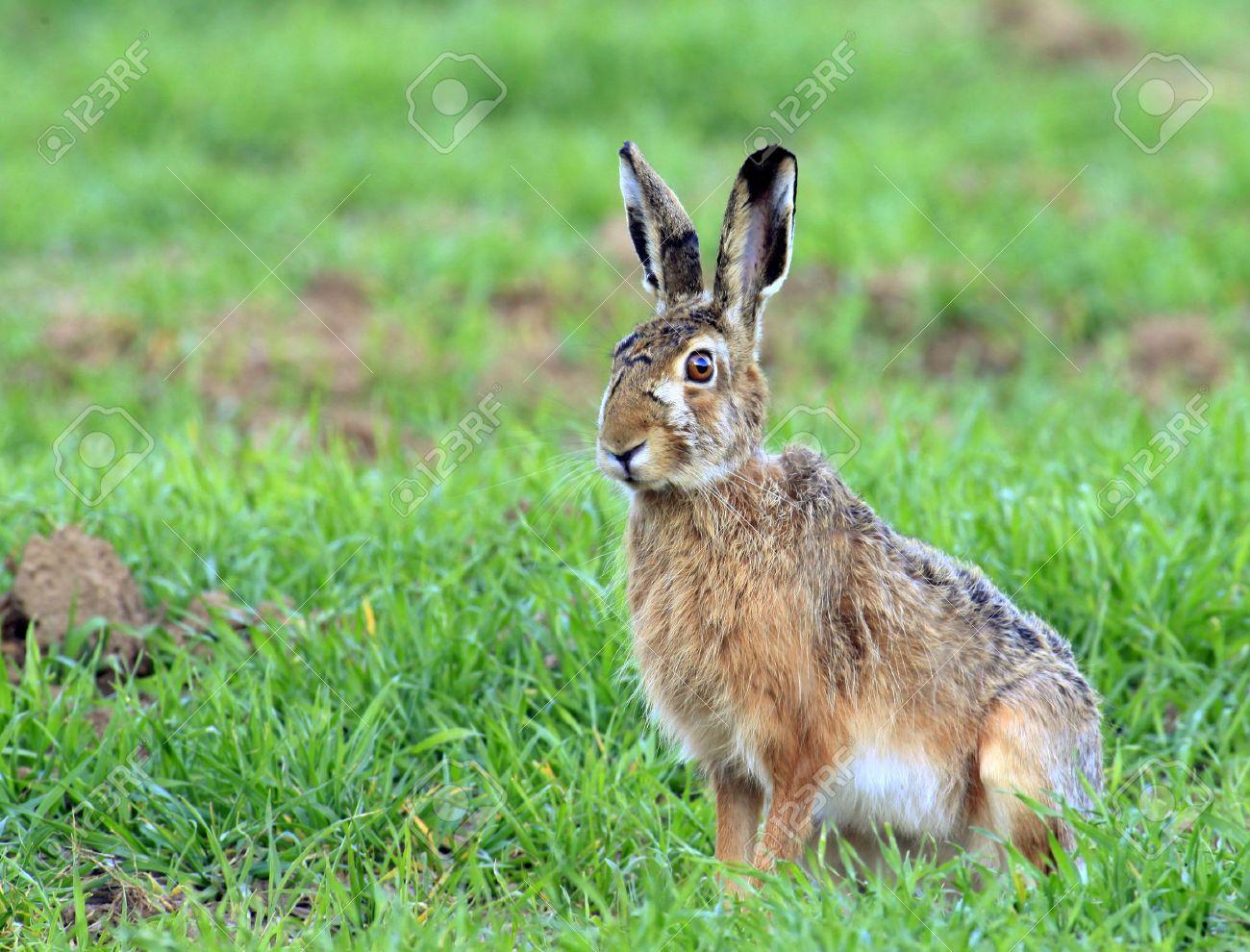 european hare - 6798731