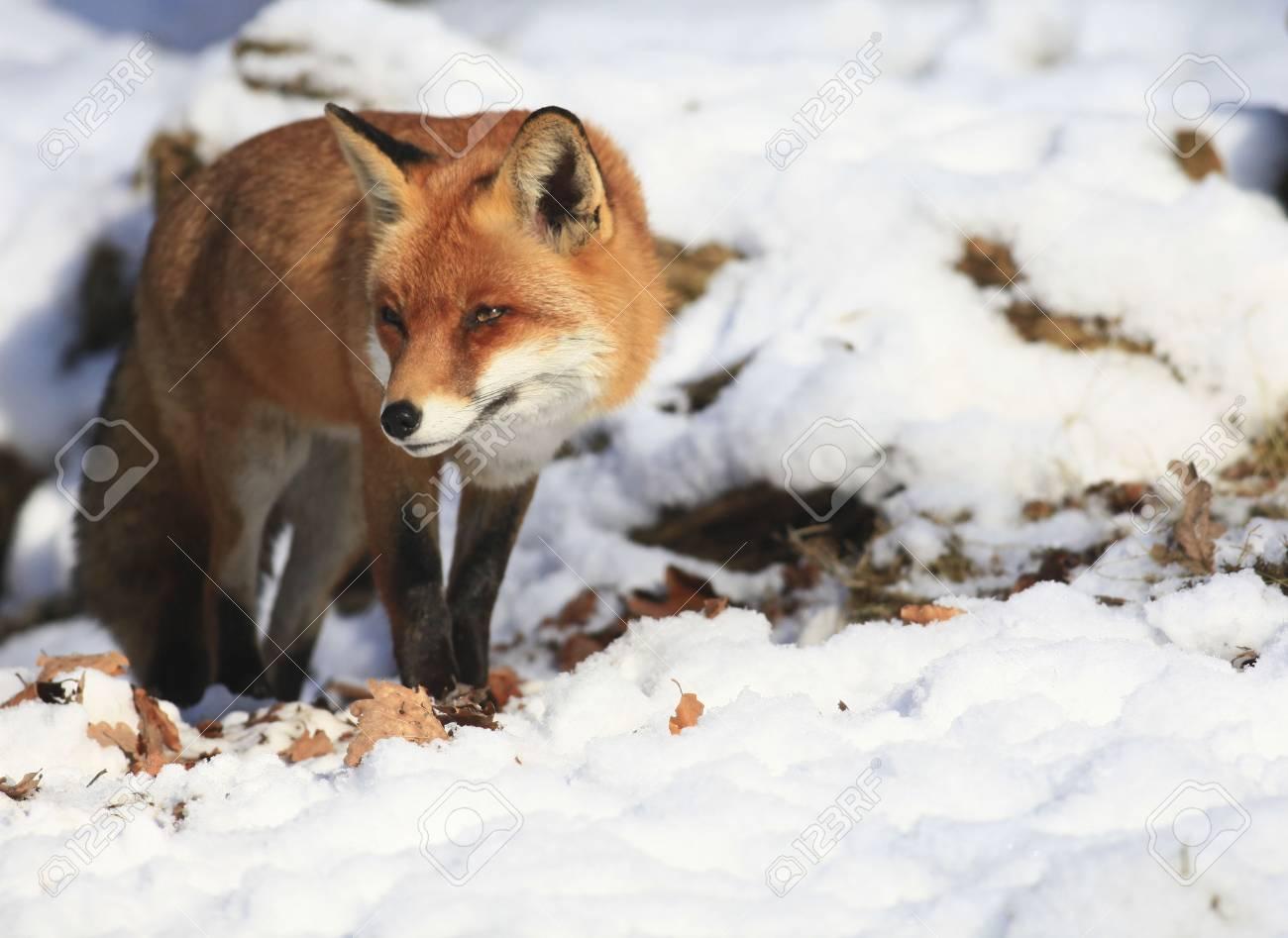 fox - 6798816