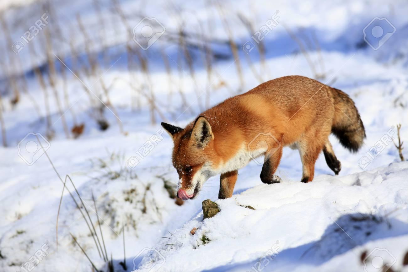 fox - 6798819