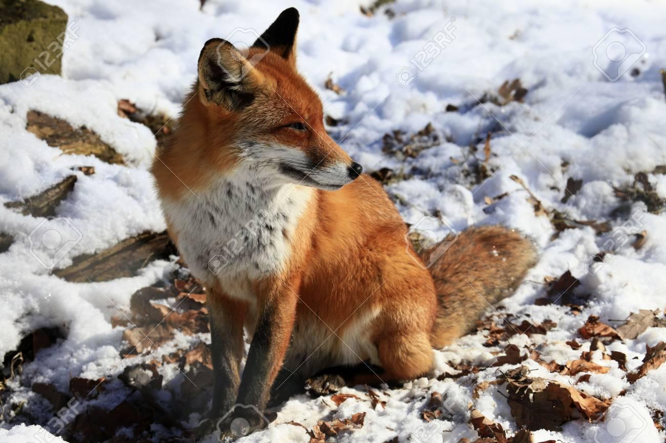 fox - 6798836