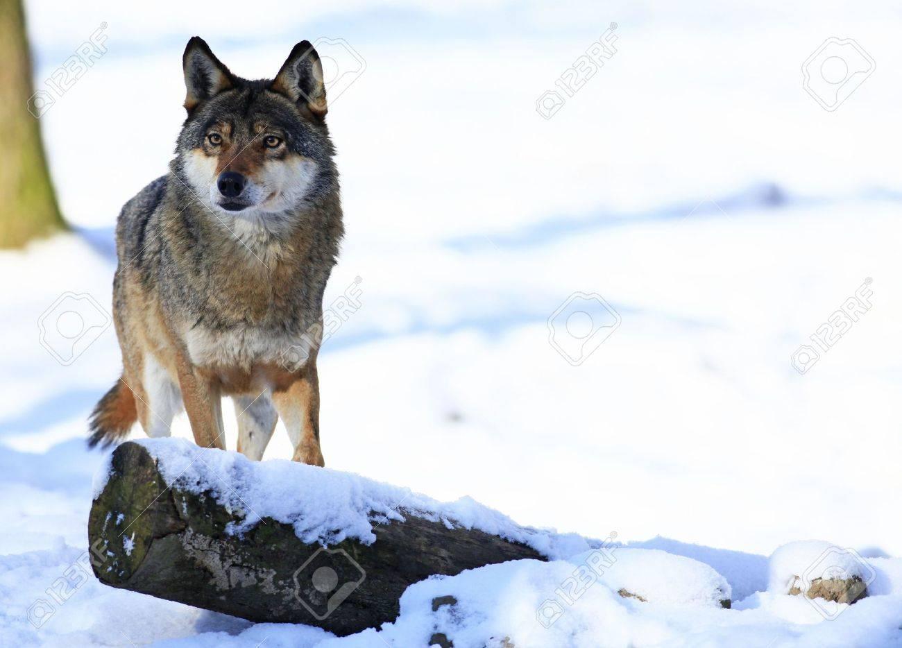 wolf - 6798678