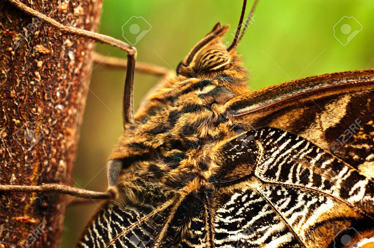 A macro shot of a giant owl butterfly Stock Photo - 13208186