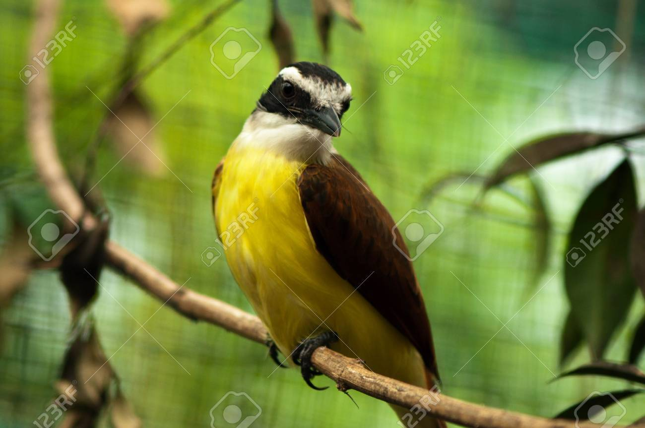 A rusty margined flycatcher sitting on a branch Stock Photo - 13638078