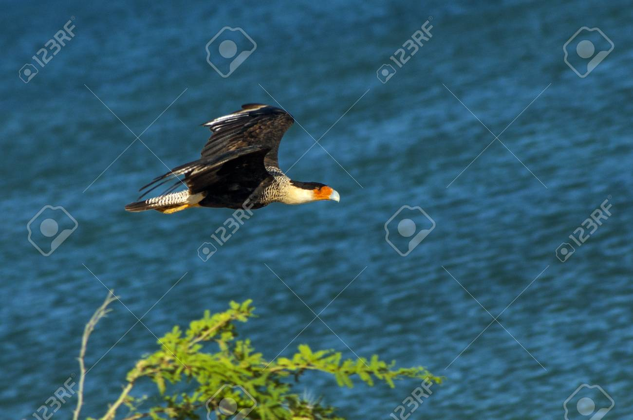 An image of a flying caracara bird Stock Photo - 14832925
