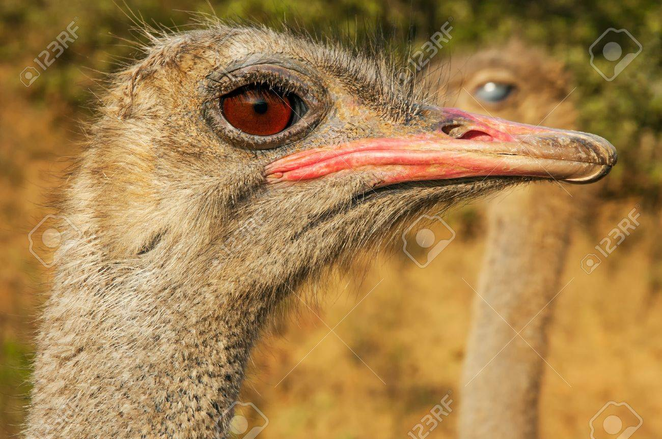 a closeup of an ostrich face stock photo picture and royalty free