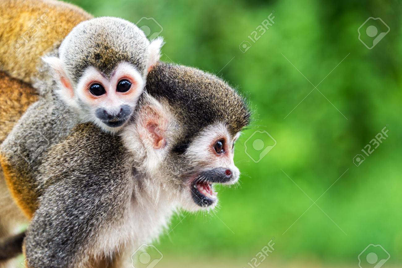 monkey face images u0026 stock pictures royalty free monkey face