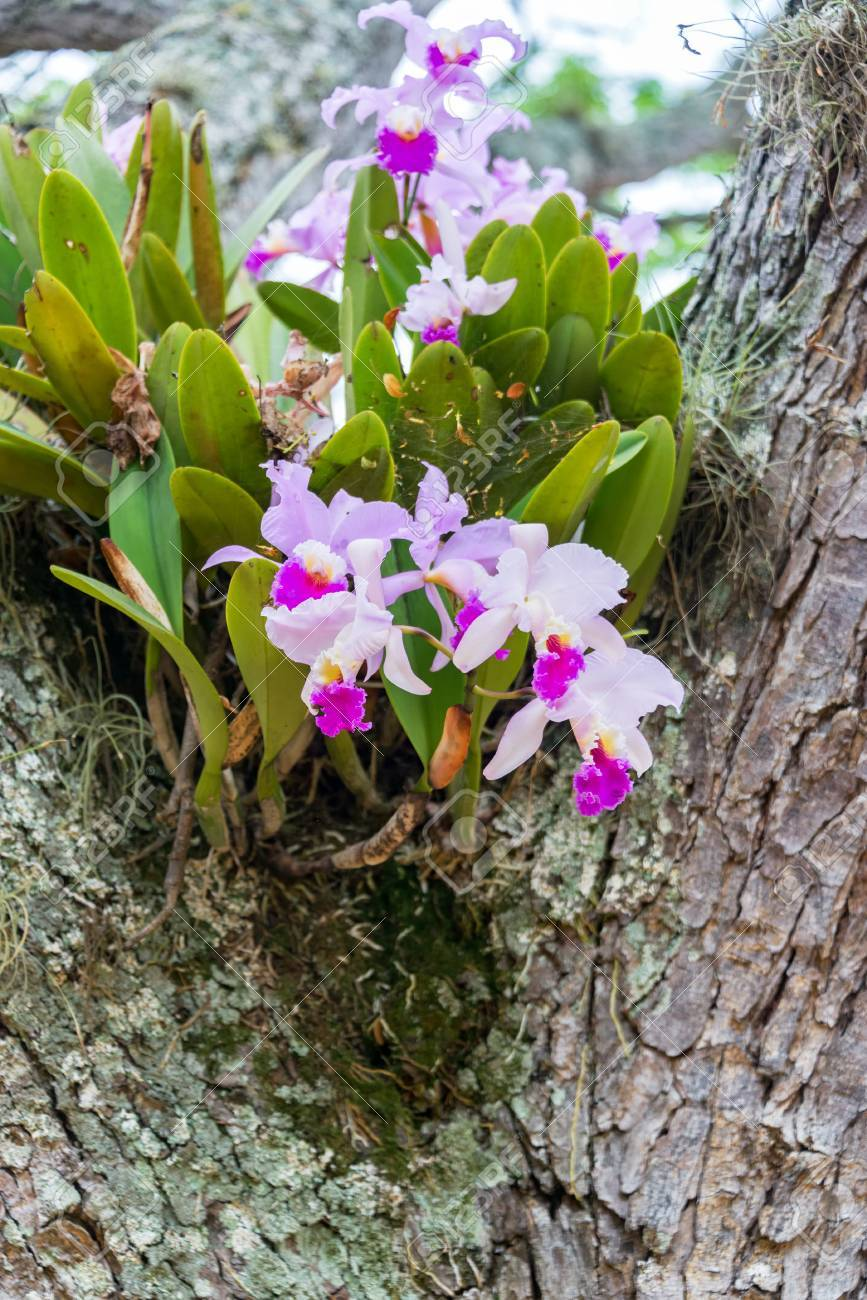 Cattleya Trianae Orchid Growing In A Tree In Barichara Colombia