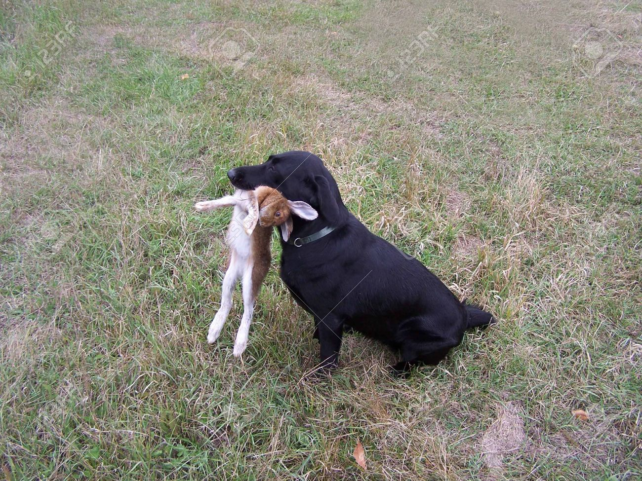 Black Lab Hunting Dog in Wisconsin