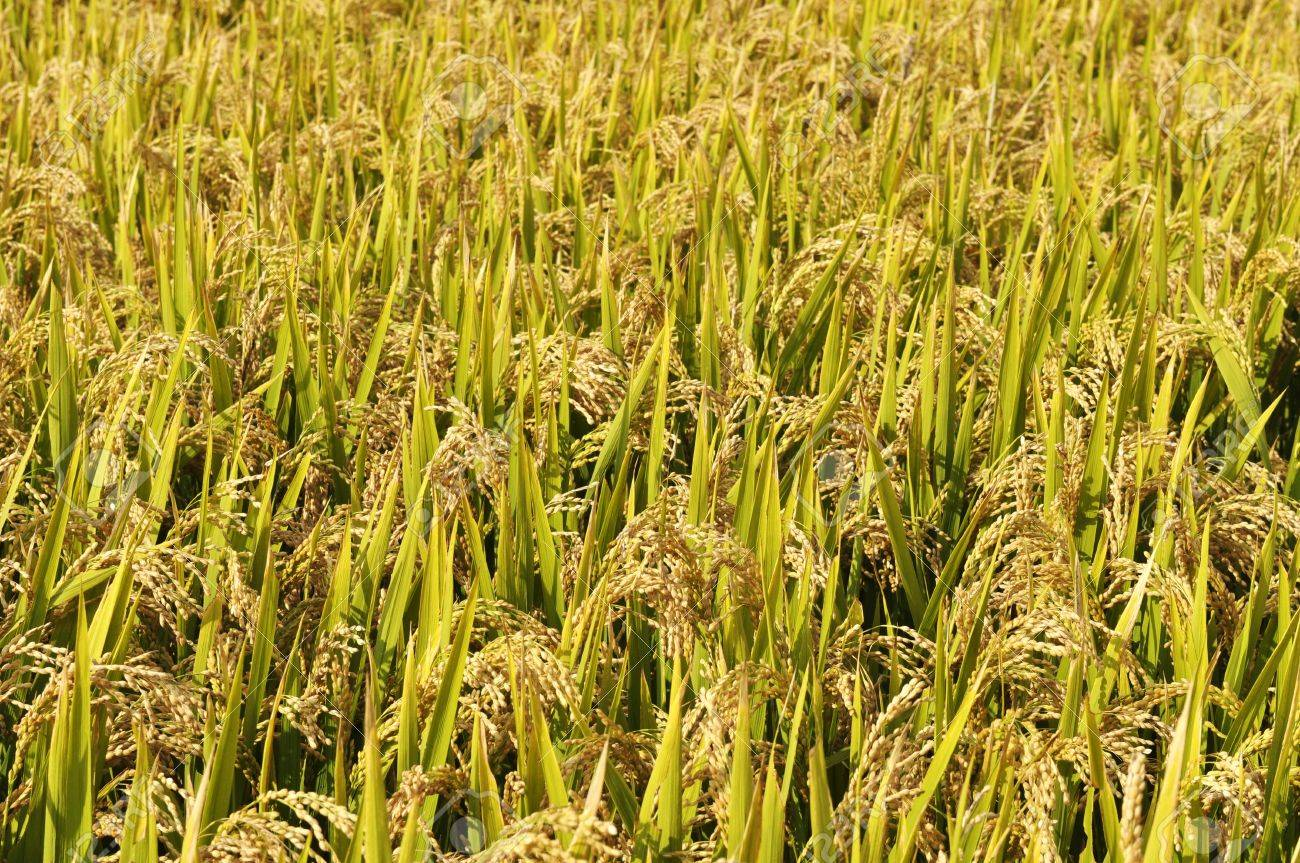 Golden rice fields Stock Photo - 15332374