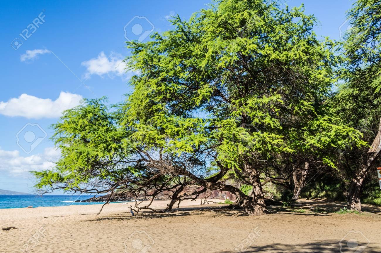 Wailea Beach, Maui, Tawny-colored Sand Is Lined By Palm Trees ...