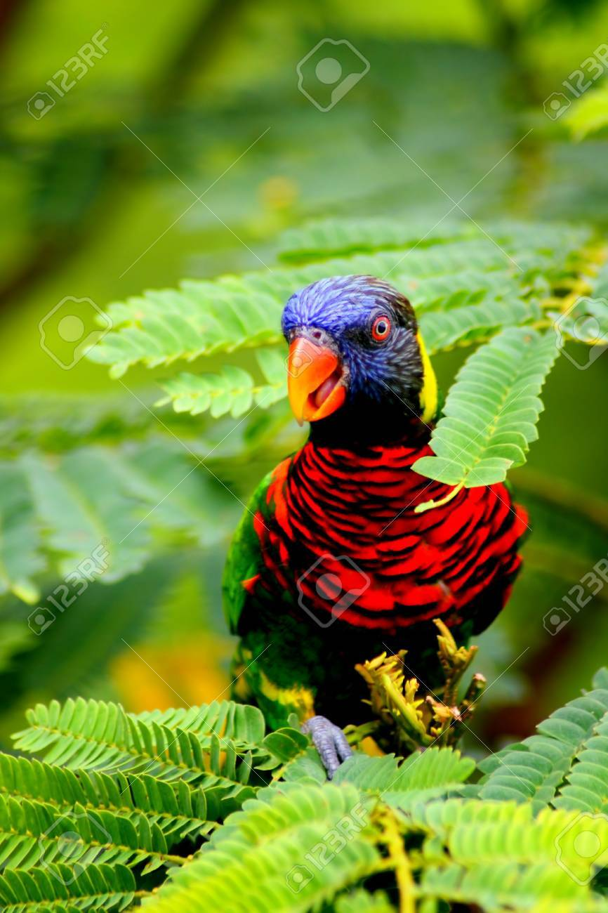 Beautiful Cute Little Lory Bird Hiding On Tree Stock Photo - 5409321