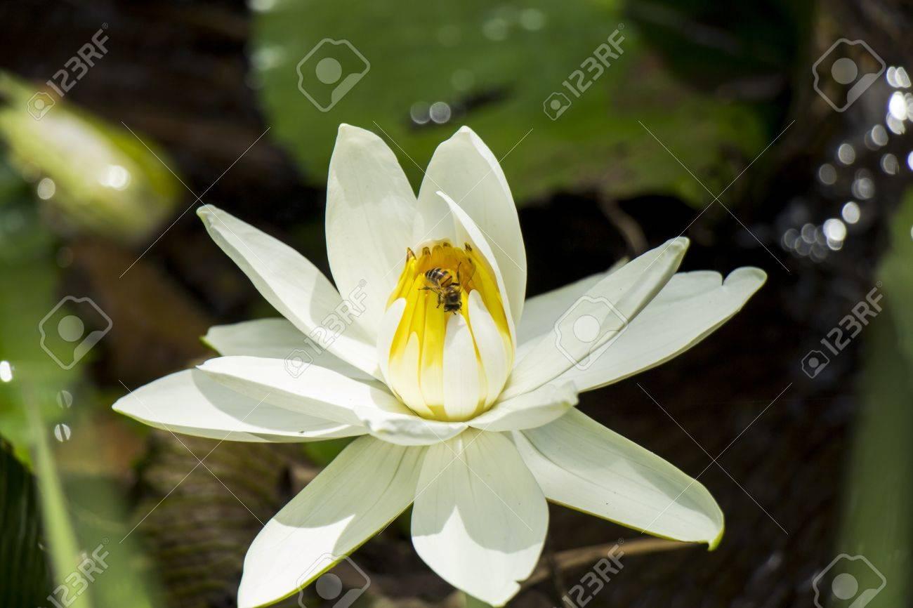 Jolie Fleur De Lotus Bleu Ou Nenuphar Qui Fleurit Dans Un Etang