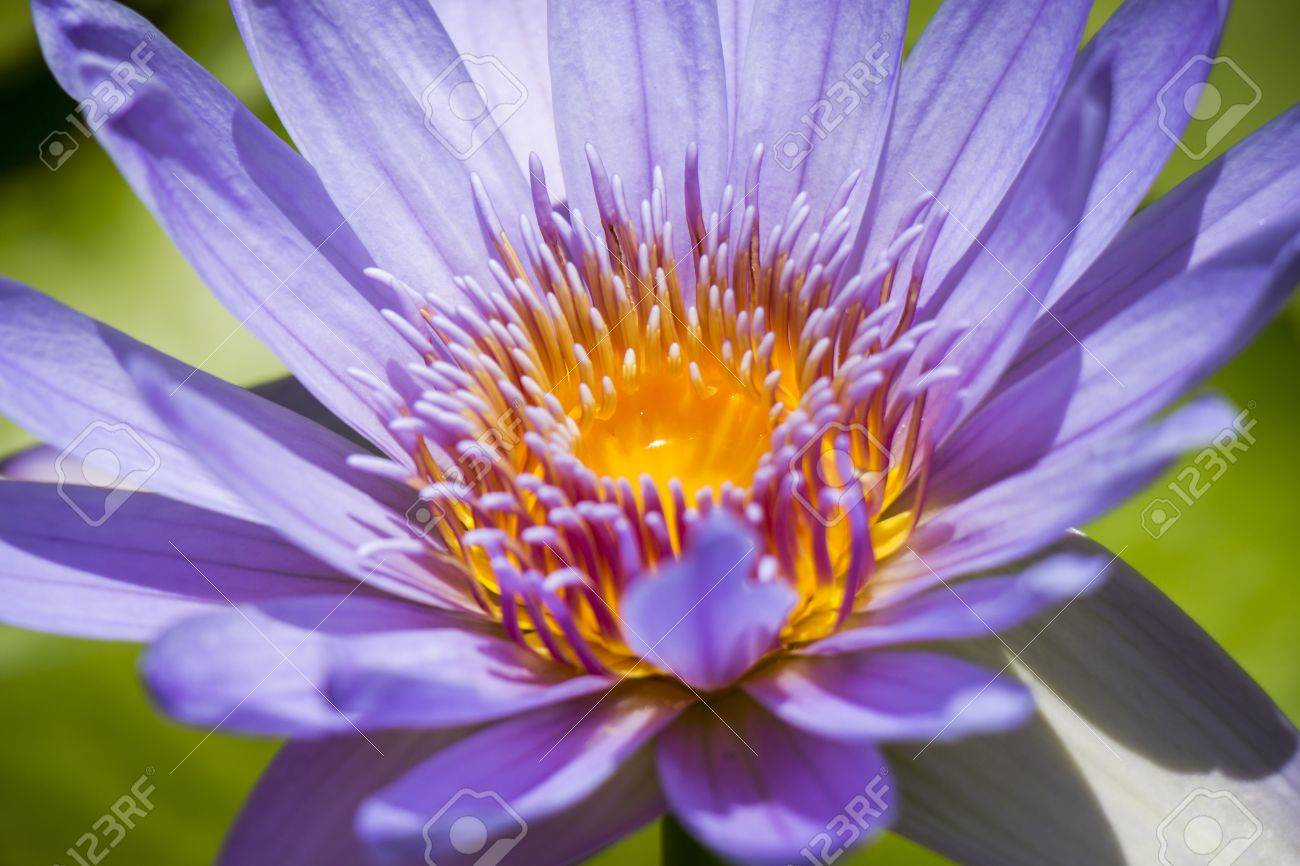 Pretty Blue Lotus Flower Or Water Lily Blooming In A Pond Above