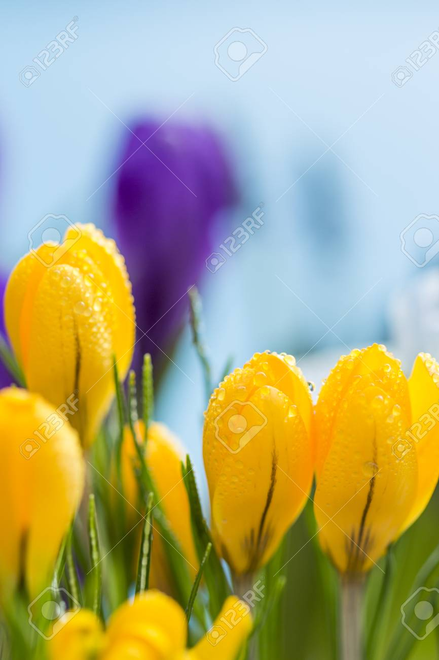 Close up side view of a group of colorful yellow crocus flowers close up side view of a group of colorful yellow crocus flowers with droplets of rain mightylinksfo