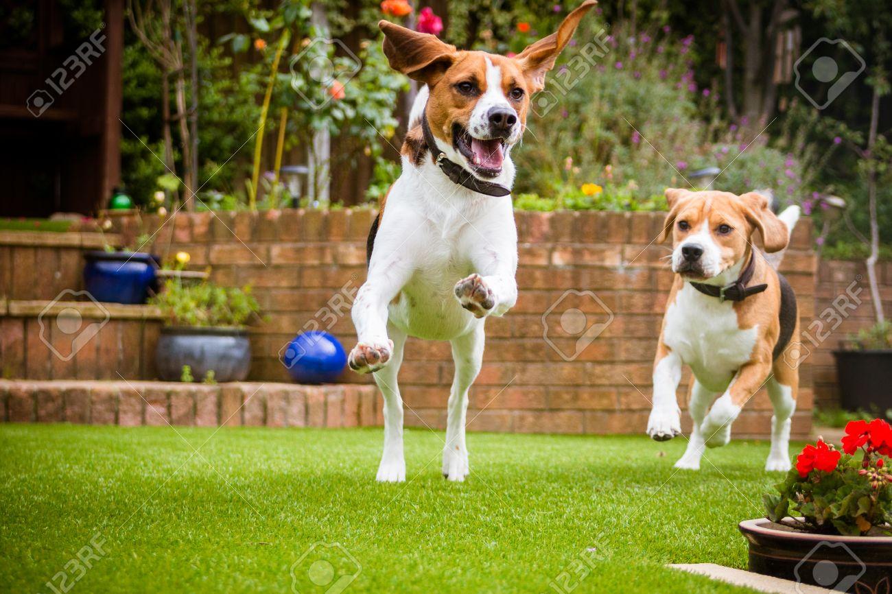 Pair Of Beagles Having Fun Running Around The Garden Stock Photo ...