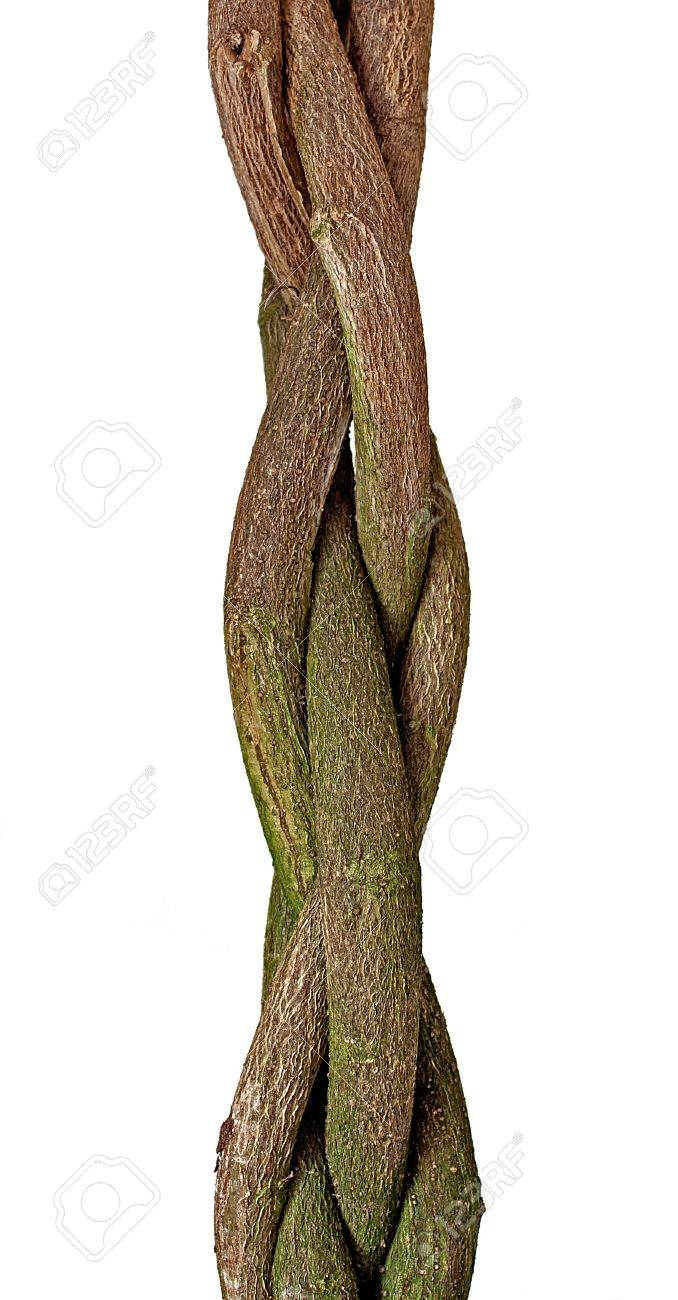 Braided Tree Trunk Of A Hibiscus Tree Stock Photo Picture And