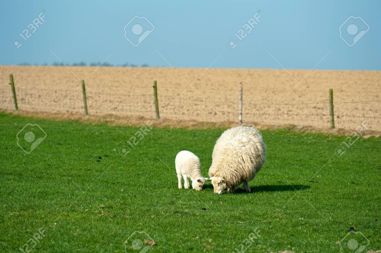 Sheep grazing in spring Stock Photo - 12980628