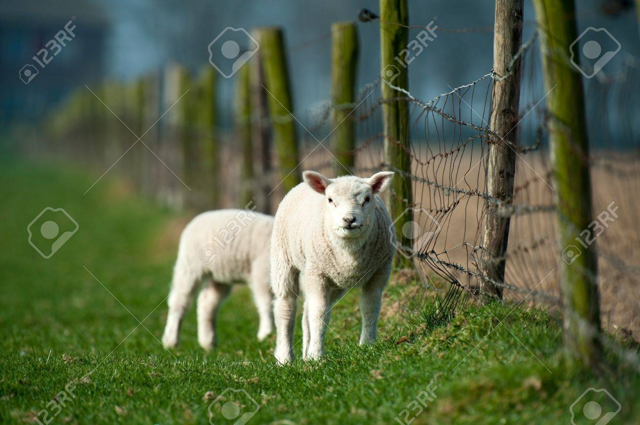 Lambs grazing in spring Stock Photo - 12980003