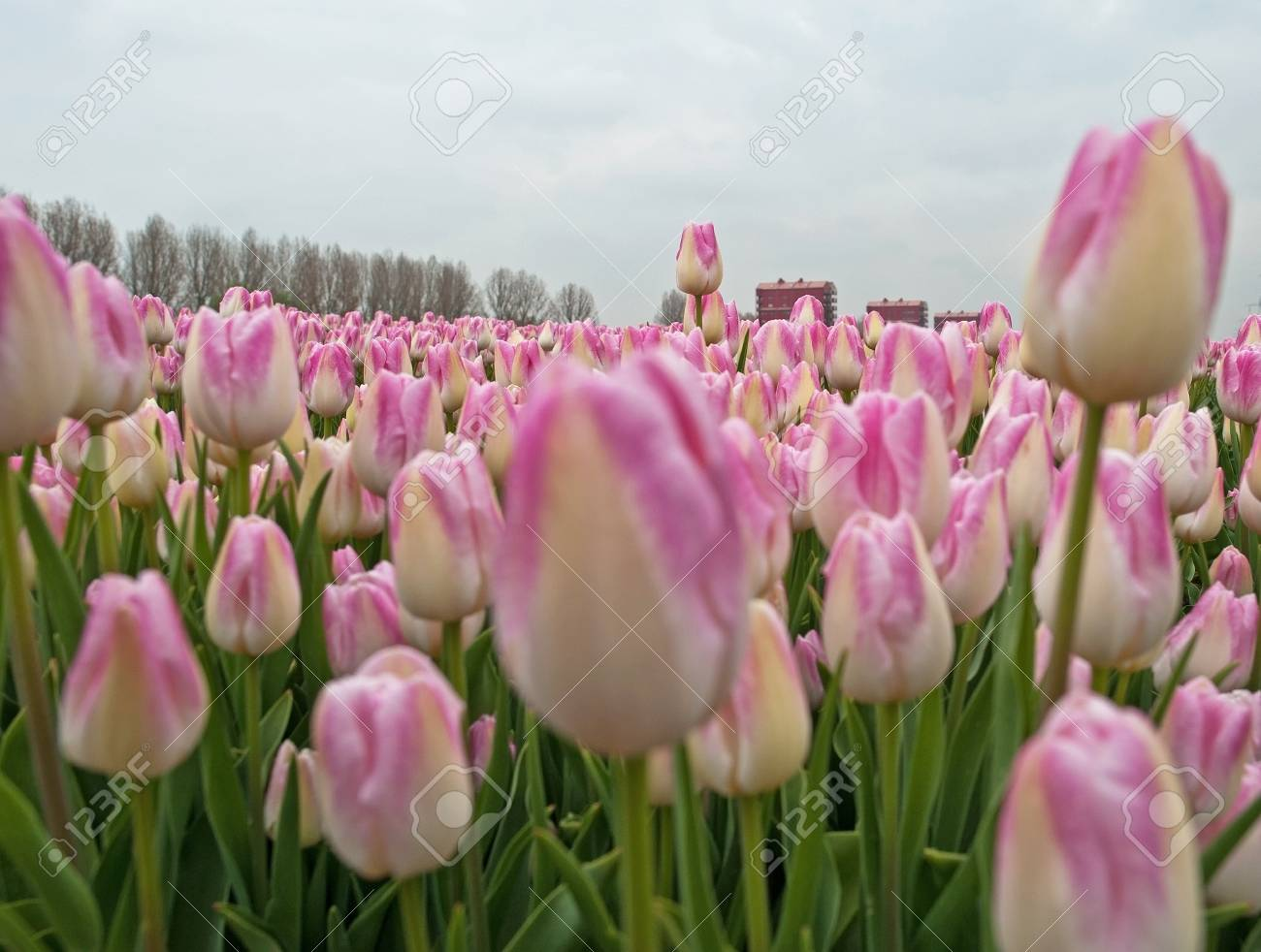 Cultivation Of Flower Bulbs In Spring Stock Photo Picture And
