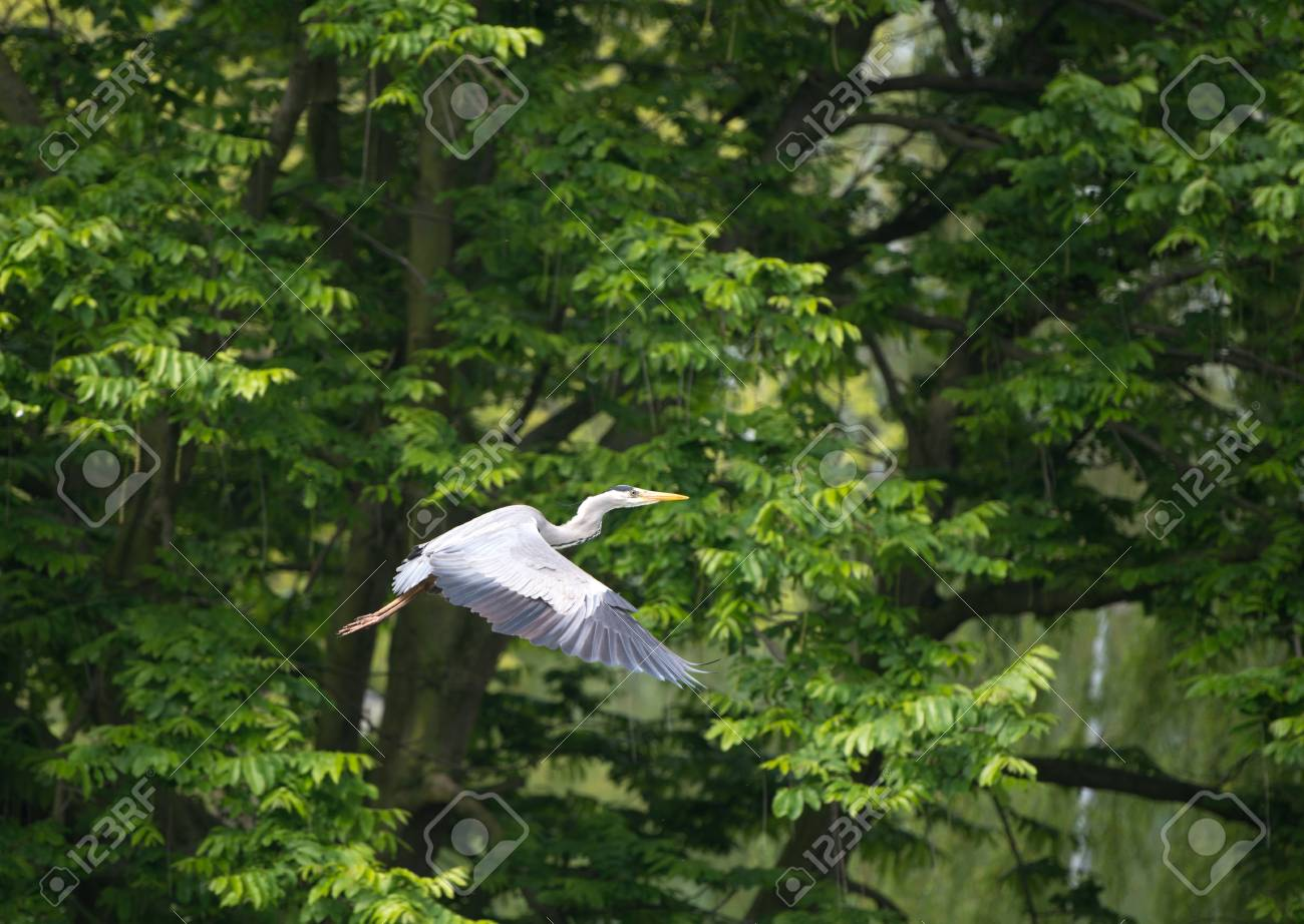 Grey heron flying along a canal in spring Stock Photo - 13703710