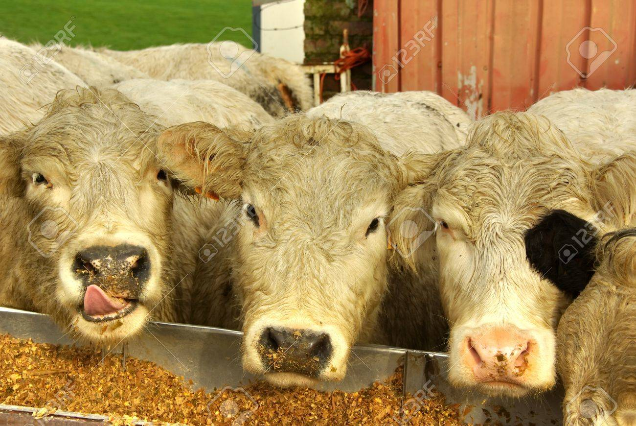Cows eating from a trough Stock Photo - 16298434