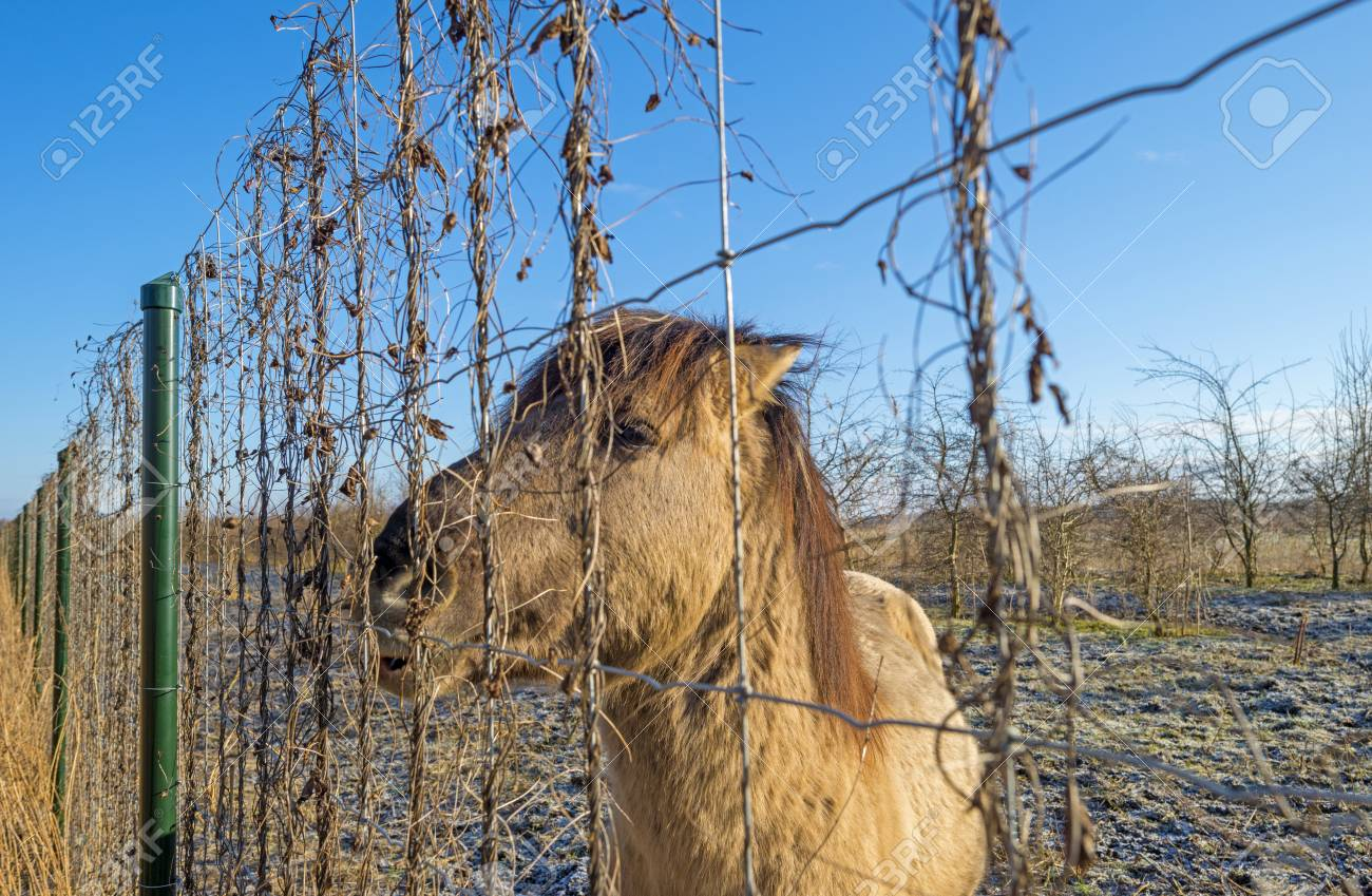 Horse Eating Form A Fence In Winter Stock Photo, Picture And Royalty ...