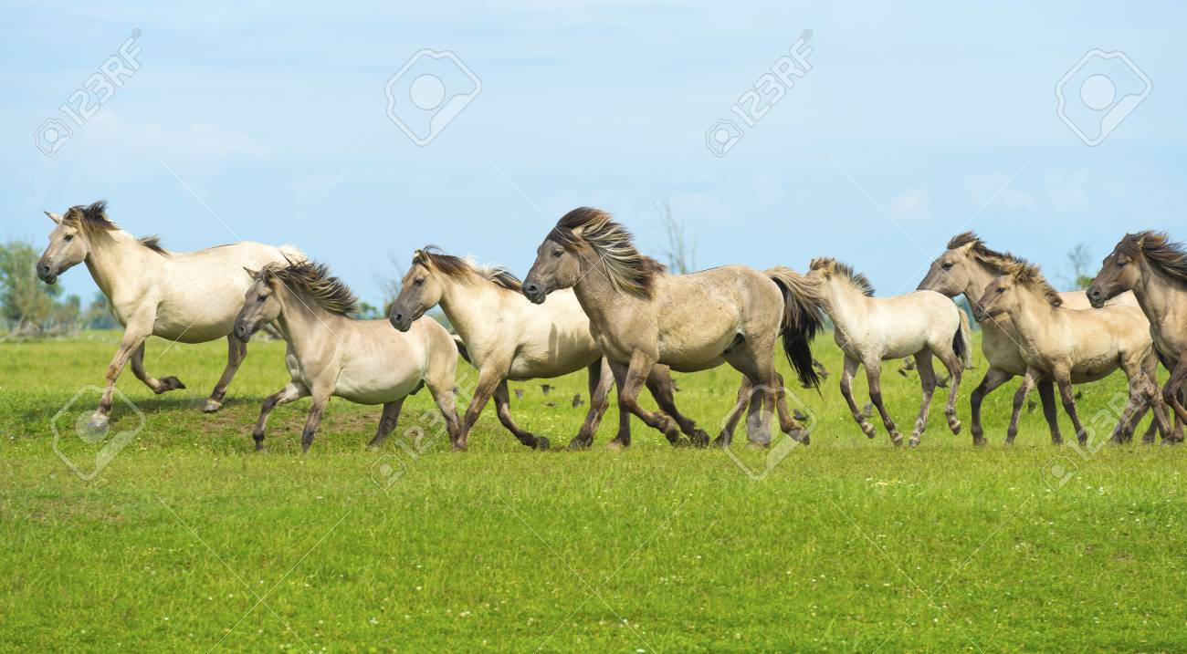 Herd Of Wild Horses Running In A Field Stock Photo Picture And Royalty Free Image Image 42859963