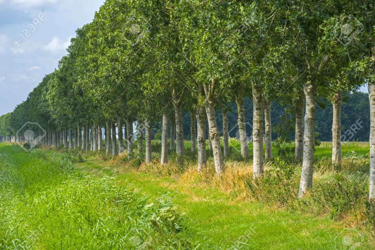 58c5f23cdd05 Archivio Fotografico - Fila di alberi attraverso la campagna in estate