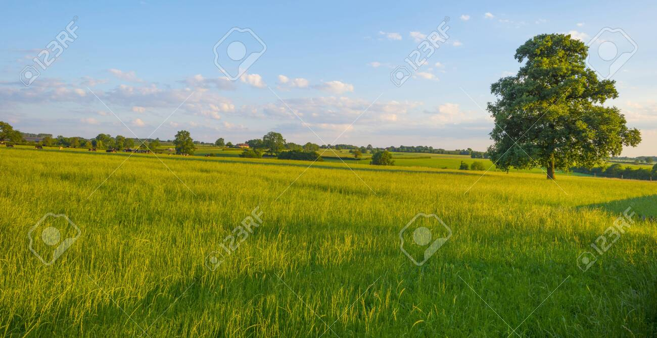 Grassy fields and trees with lush green foliage in green rolling hills below a blue sky in the light of sunset in summer - 150480781
