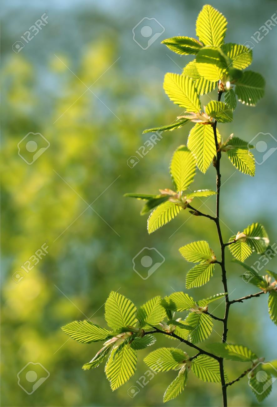 Fresh green spring beech tree leaves Stock Photo - 9404691