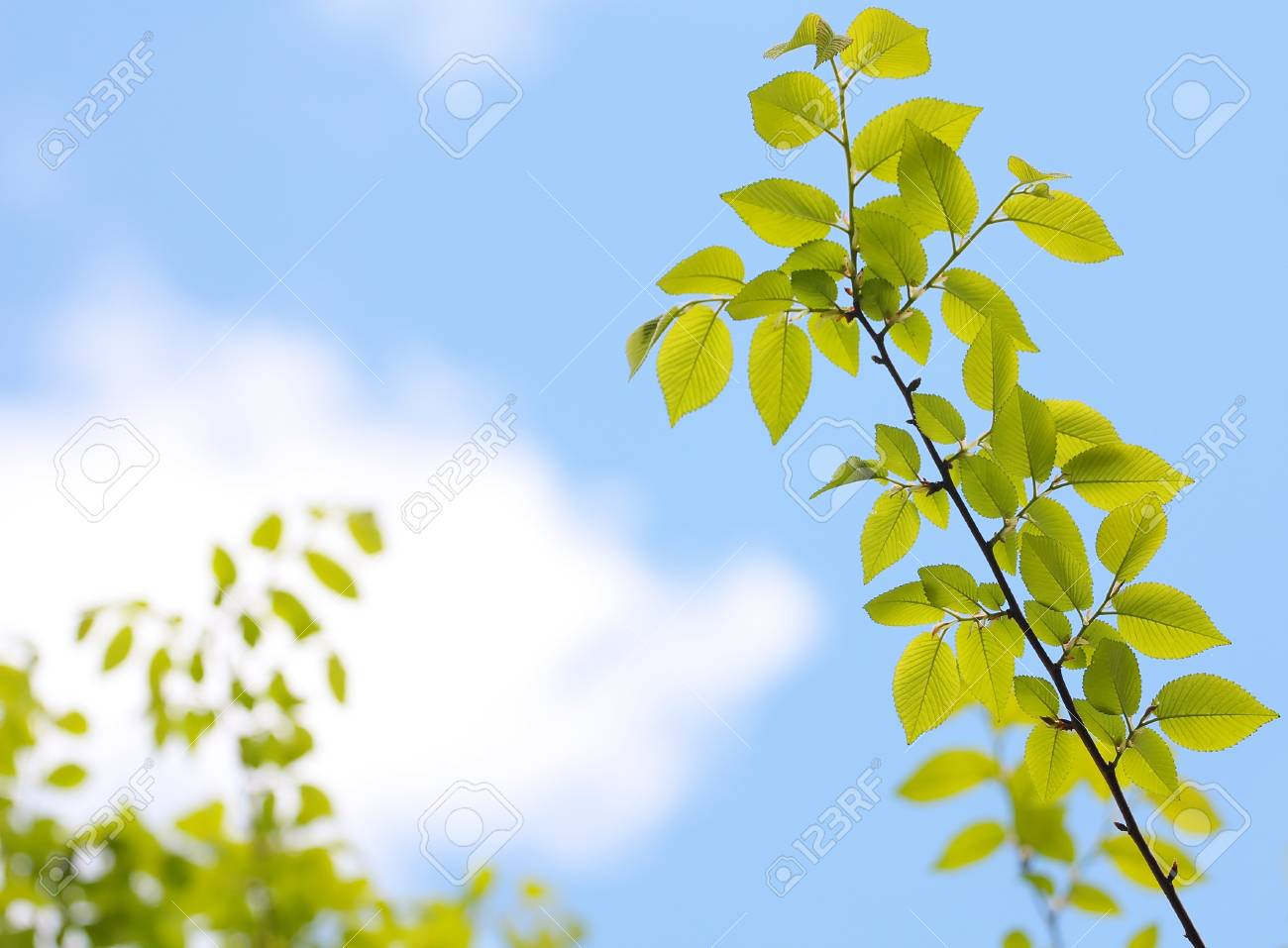 Fresh green spring beech tree leaves Stock Photo - 13808454