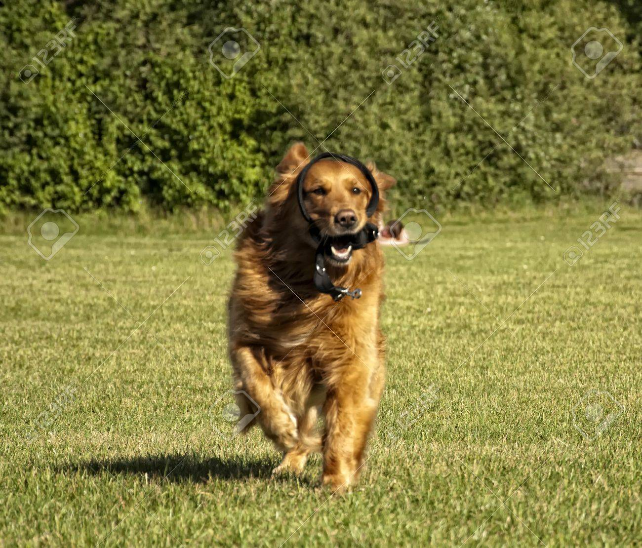 Running Dogs Faces Golden Retriever Dog Face