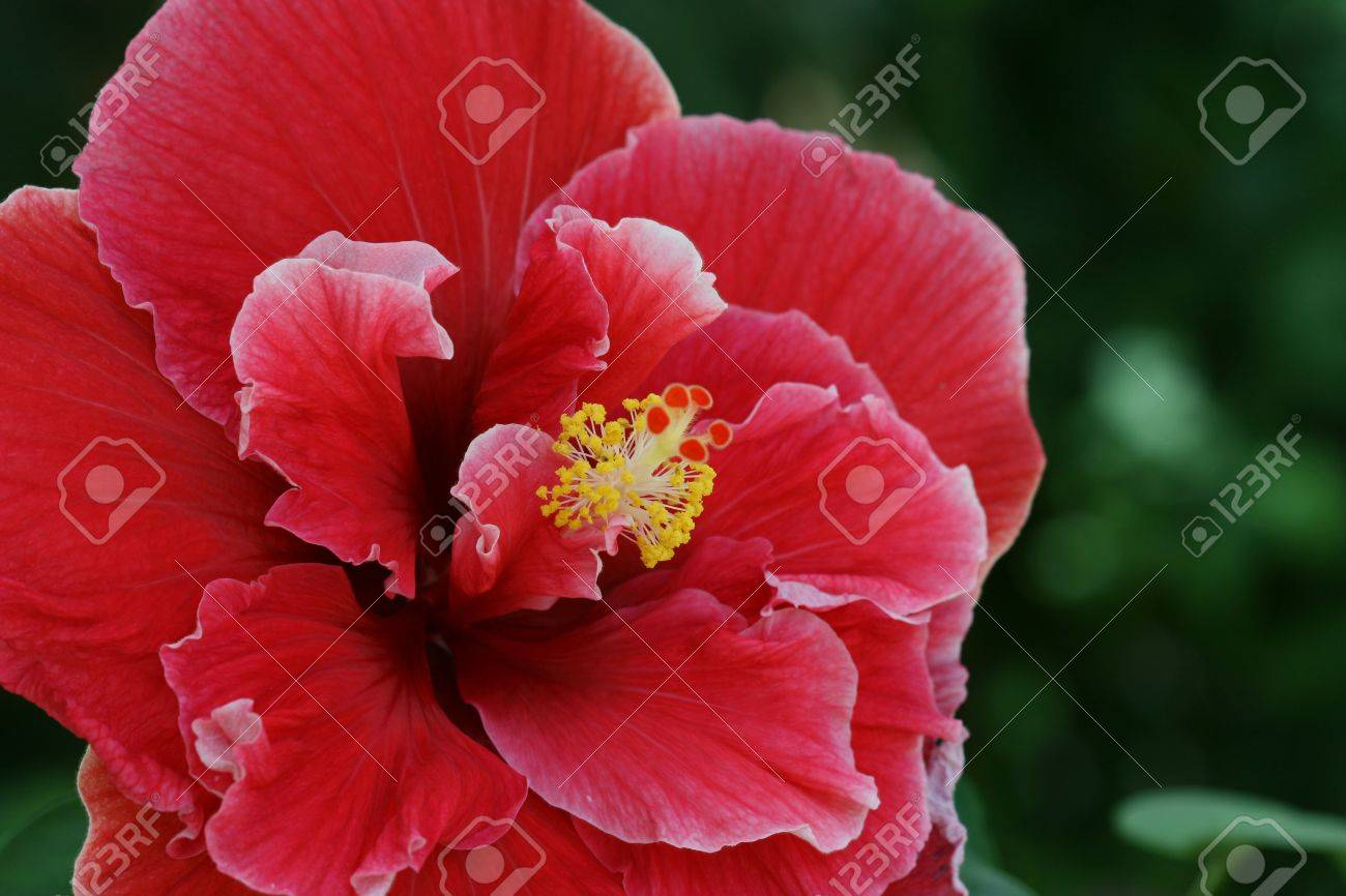 Close Up Image Of A Double Red Hibiscus Flower Stock Photo Picture