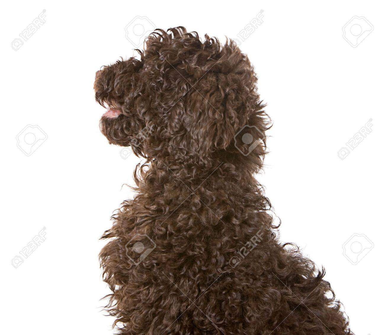 Profile Shot Of A Chocolate Labradoodle Puppy Stock Photo Picture