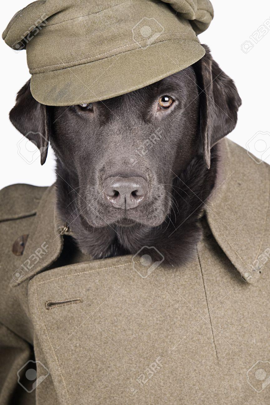 Cool Clothes Army Adorable Dog - 14479803-sgt-labrador-in-army-uniform  HD_797891  .jpg