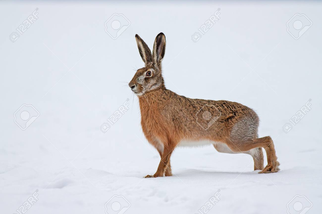 European brown hare lepus europaeus in winter  One wild animal