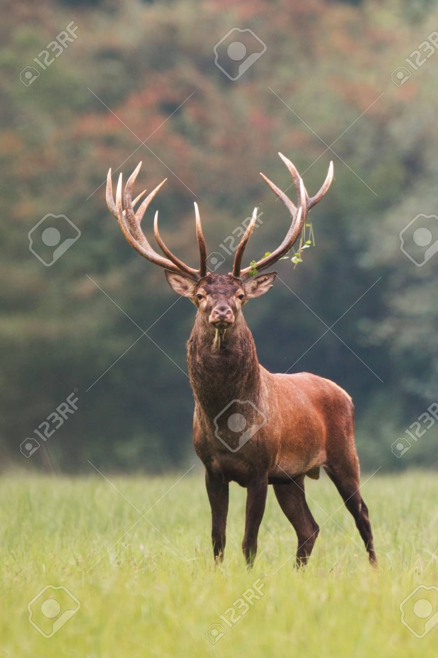 Strong male red deer, cervus elaphus, stag standing calmly on meadow isolated on green blurred background. Buck with big massive antlers trophy. Wild animal in natural environment. Dominant male. - 117364590