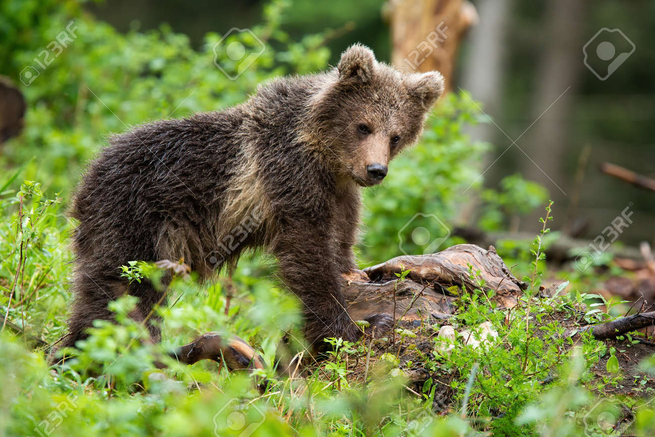 Little brown bear, ursus arctos, observing in forest in summer nature. Young predator standing in woodland. Wild mammal cub staring in green wilderness. - 167370798