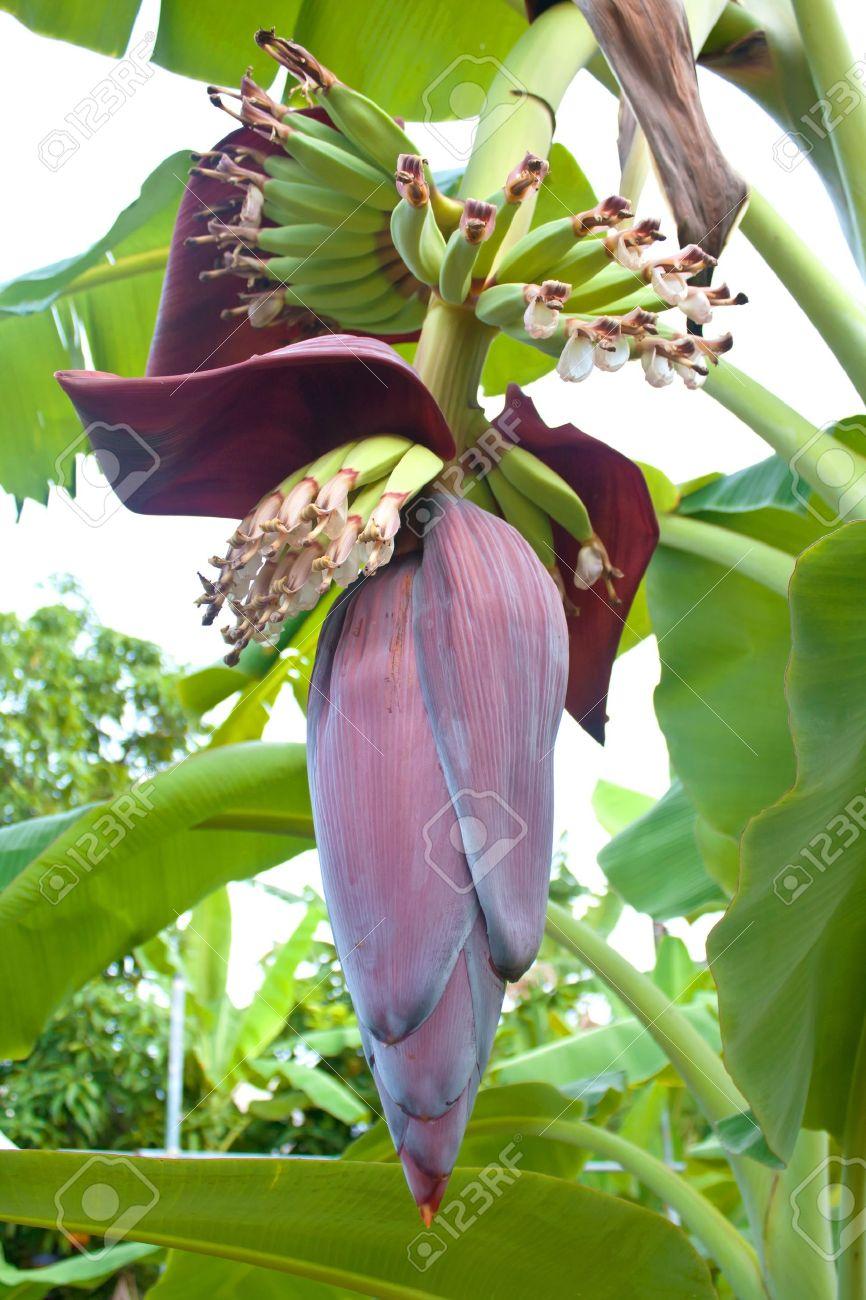 Flor De Banano Y Flores En El árbol De Plátano Fotos Retratos Imágenes Y Fotografía De Archivo Libres De Derecho Image 11741459