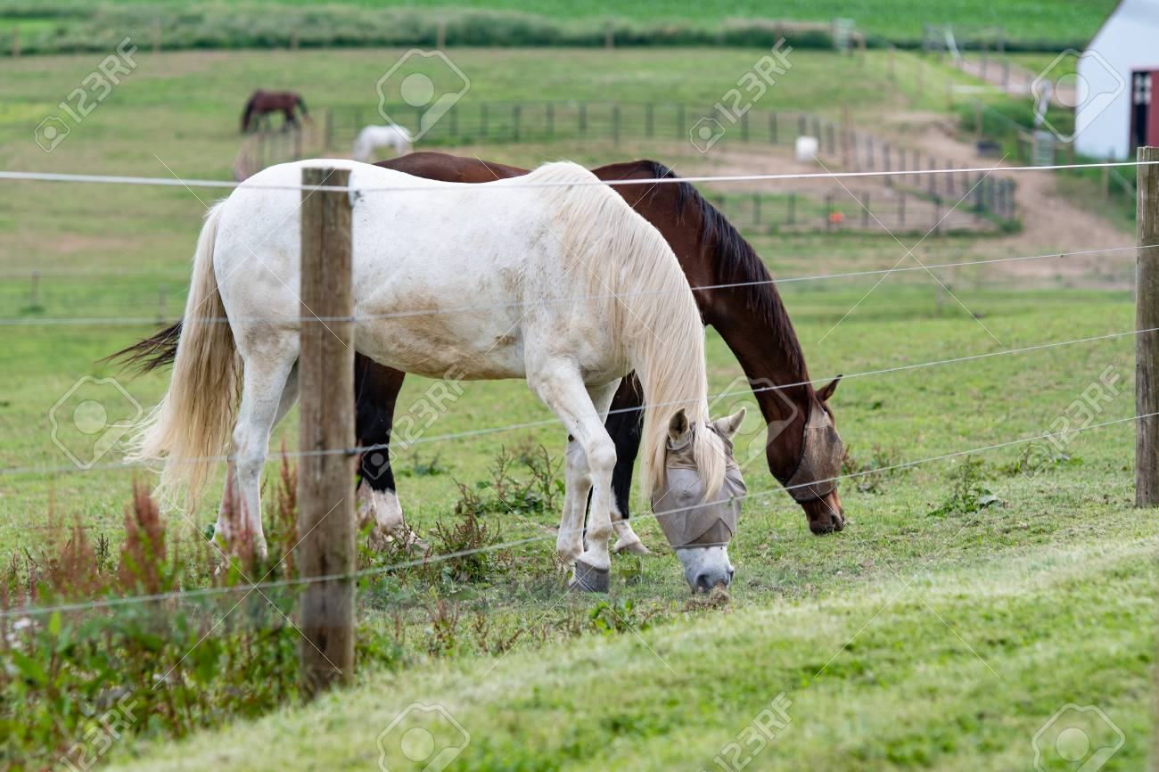 Two Horses Wearing Fly Face Masks Grazing Behind An Electric.. Stock ...