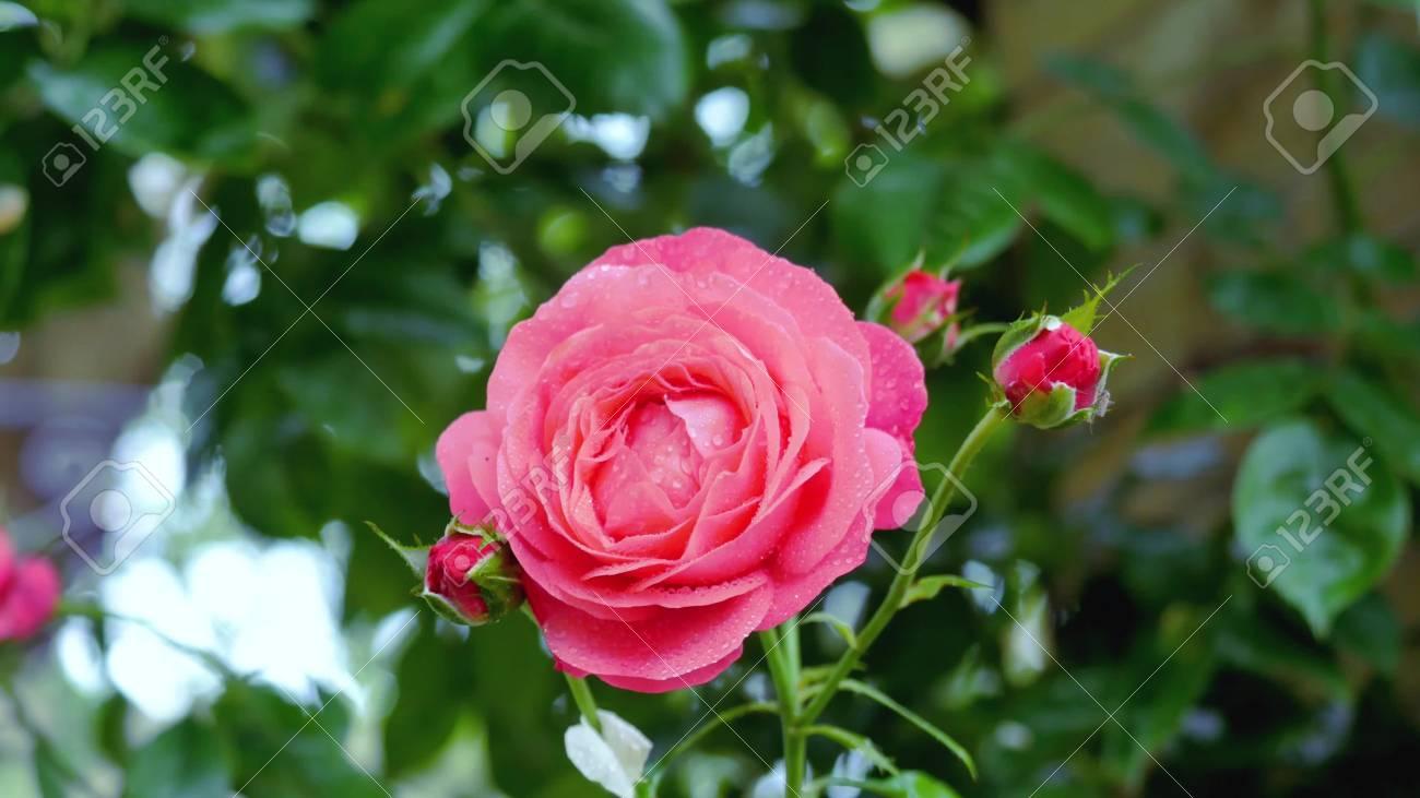 Immagini Stock Una Rosa Rossa Cè Una Rosa Rossa E Uno Sfondo