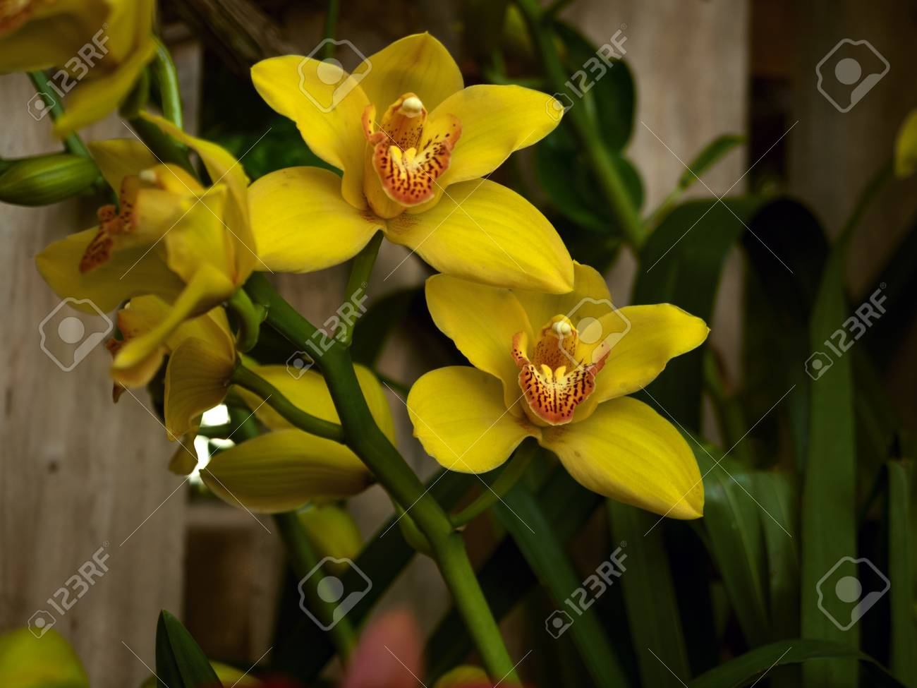 Streaked orchid flowers beautiful orchid flowers stock photo streaked orchid flowers beautiful orchid flowers stock photo 77670723 izmirmasajfo