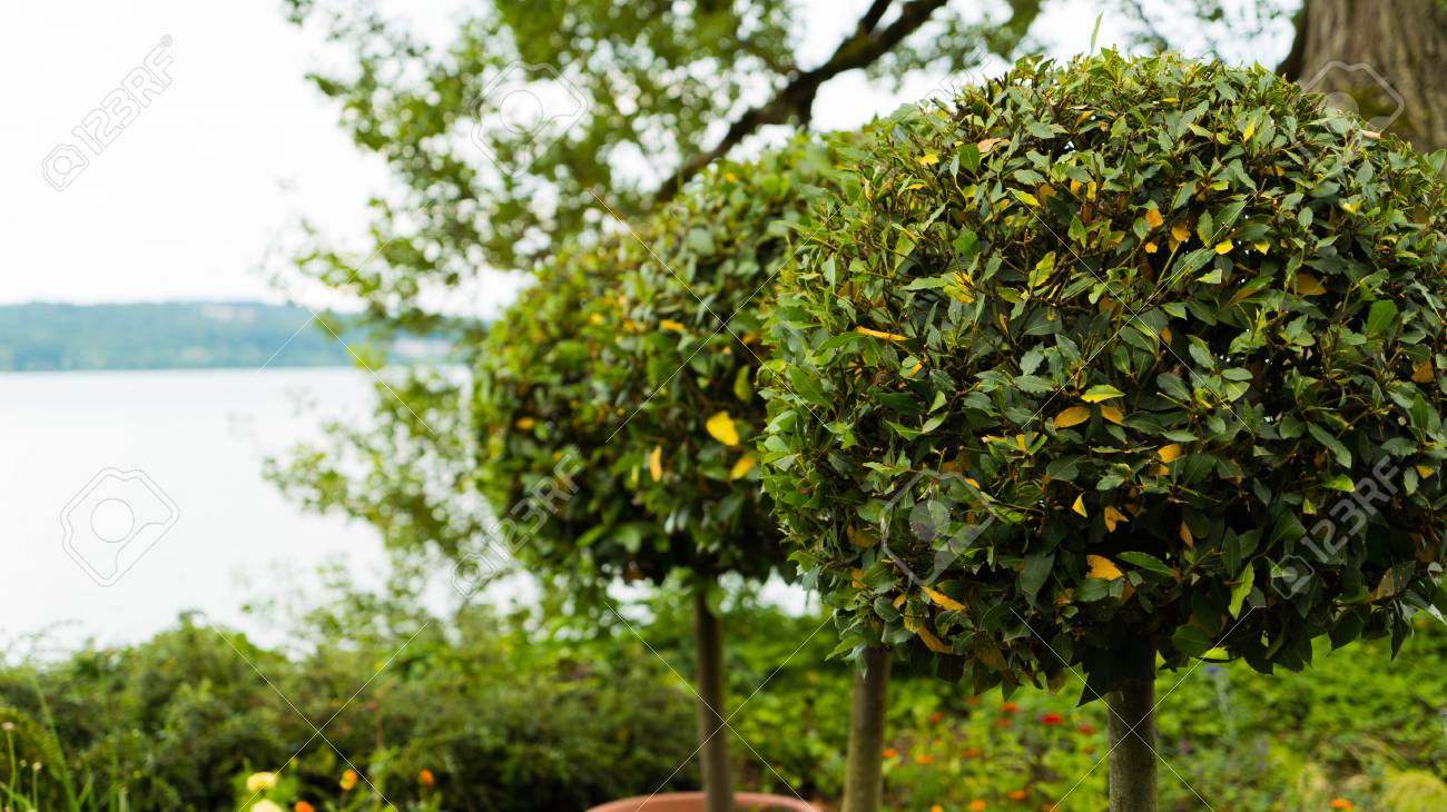 Trees Trimmed Around For A Decorative Garden. Stock Photo, Picture ...