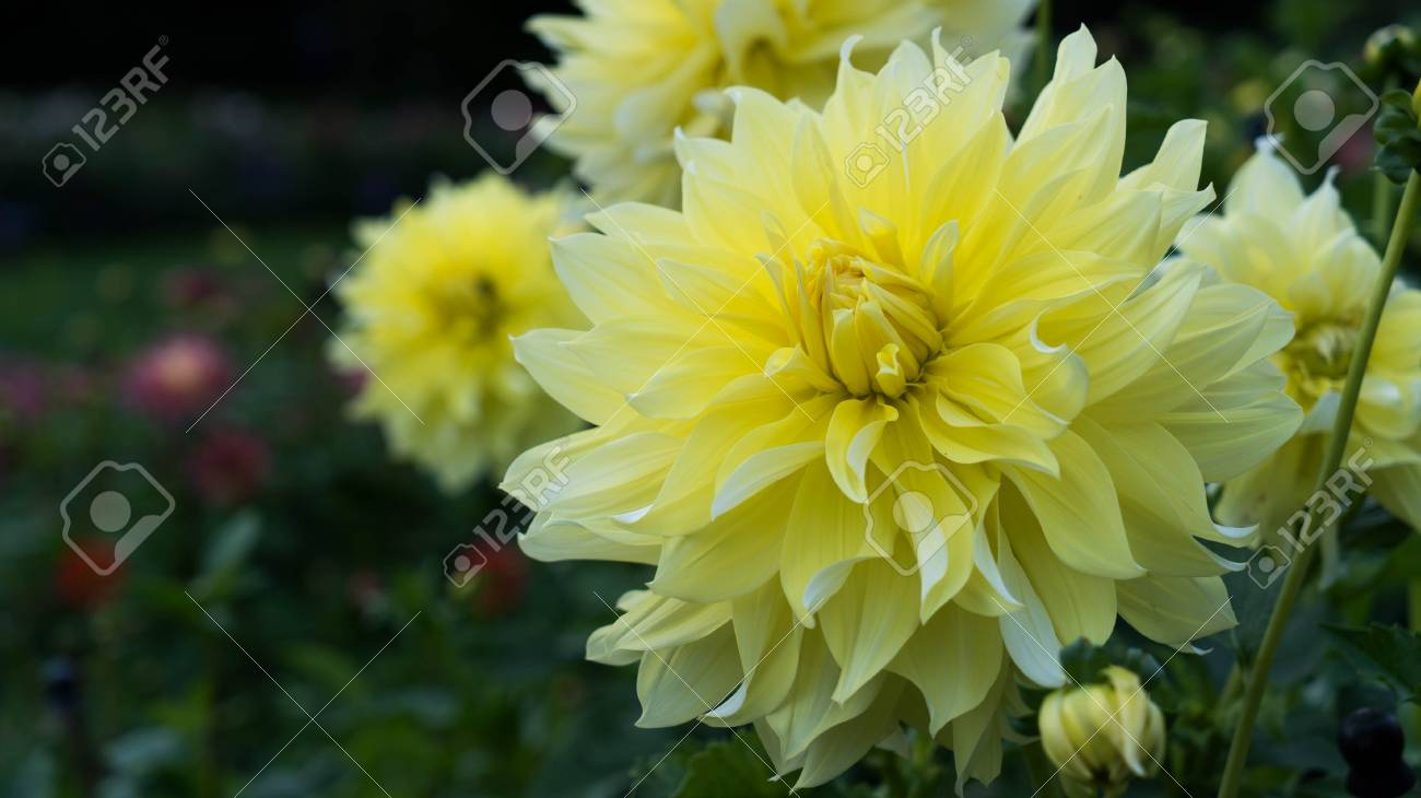 A Large Yellow Dahlia Flower Close Up Stock Photo Picture And