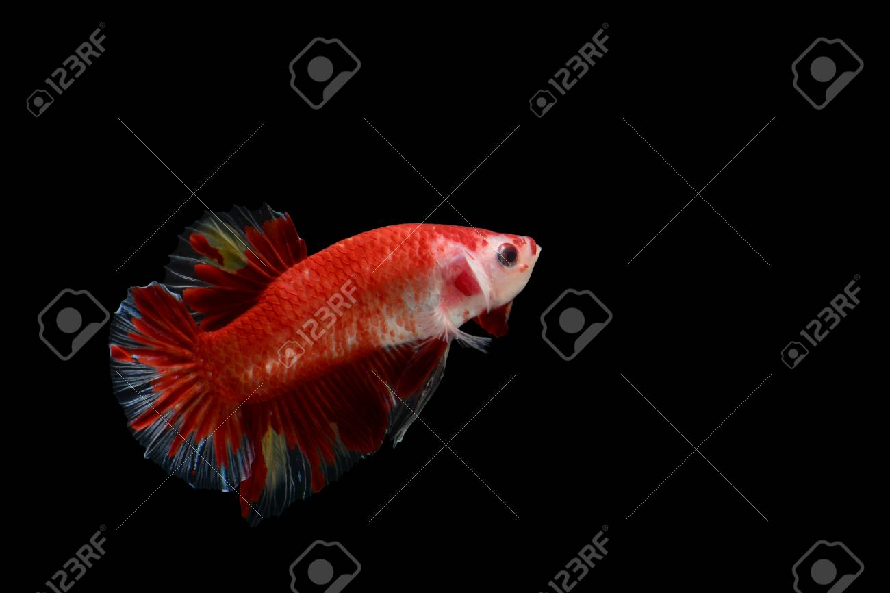 Isolated Colorful Male Fighting Fish On Black Background Stock Photo ...